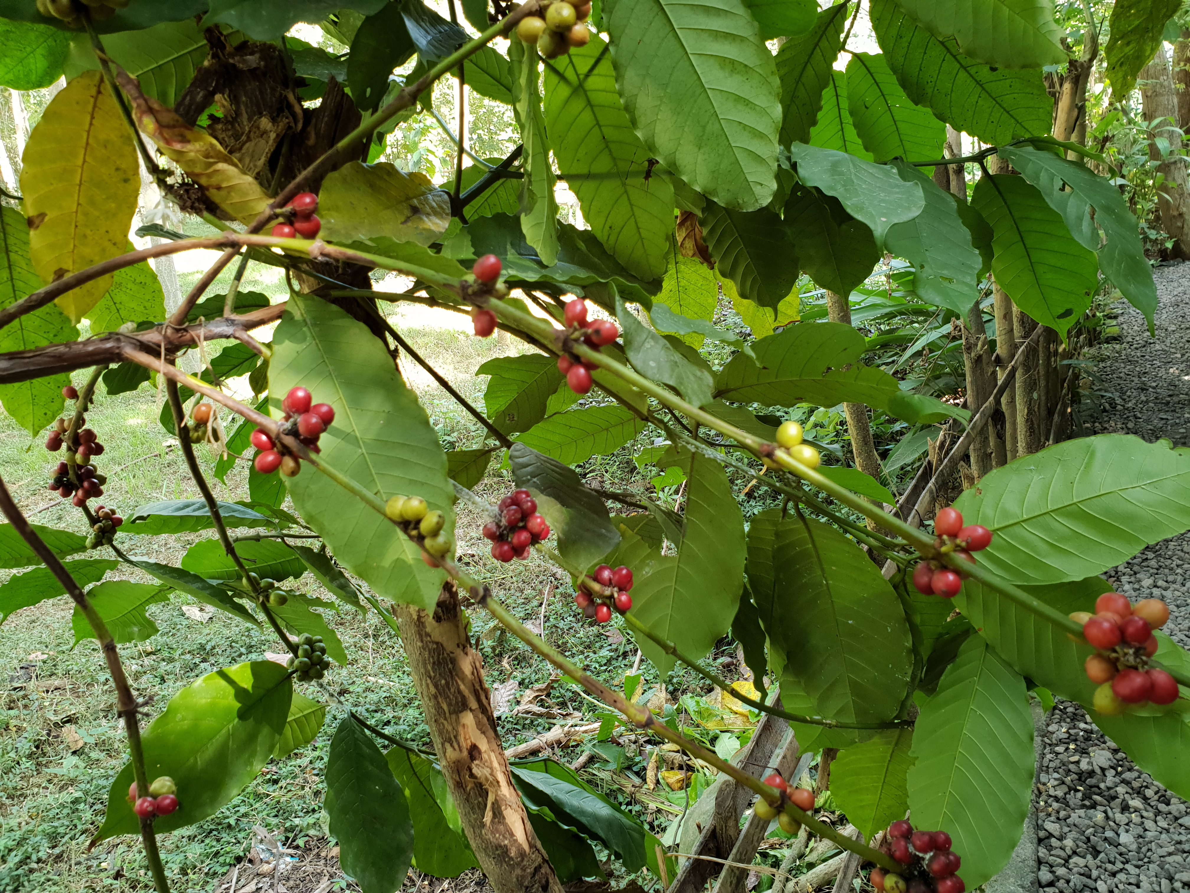 Ripe coffee beans, placescases.com
